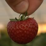 Strawbery farm